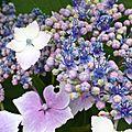 hortensias pailletés2