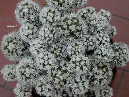 Mammillaria_gracilis_cv