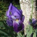 iris pallida mauve (jardin)