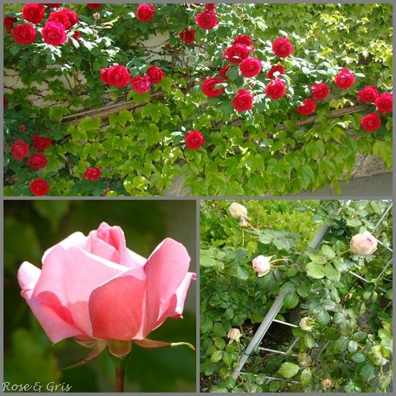 roses mai 2010