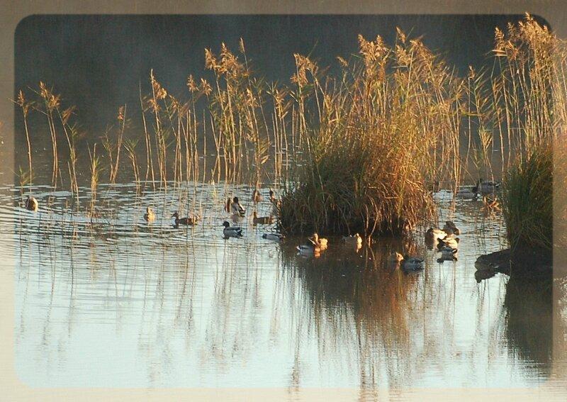 canards sur l'étang de Cousseau