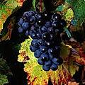 Le vigne magique avec marabout papa govo