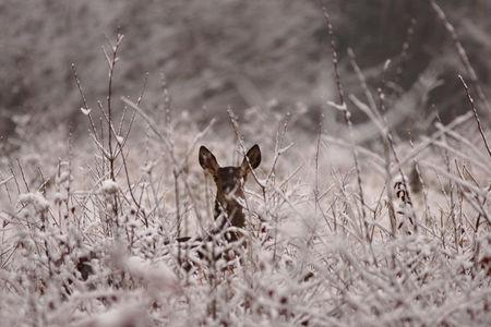 Biche_en_hiver