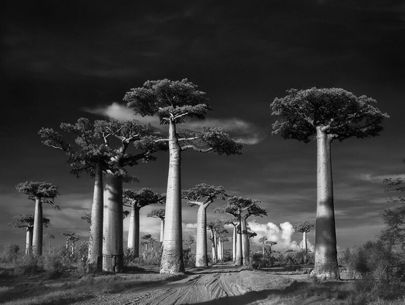 Ancien-arbre-2 - Copie