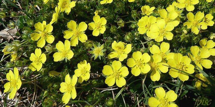 fleurs en cymes pauciflore dépassant peu les feuilles