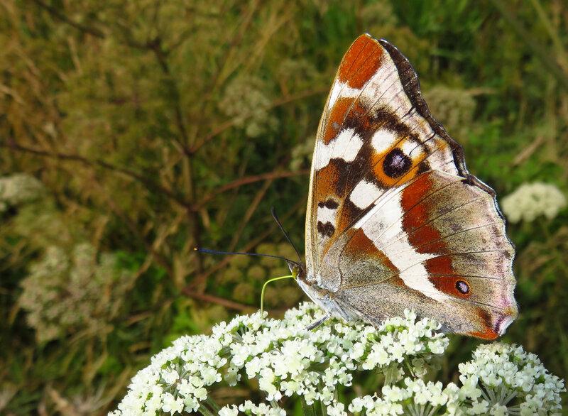 Papillon le Grand mars Joel Triboult