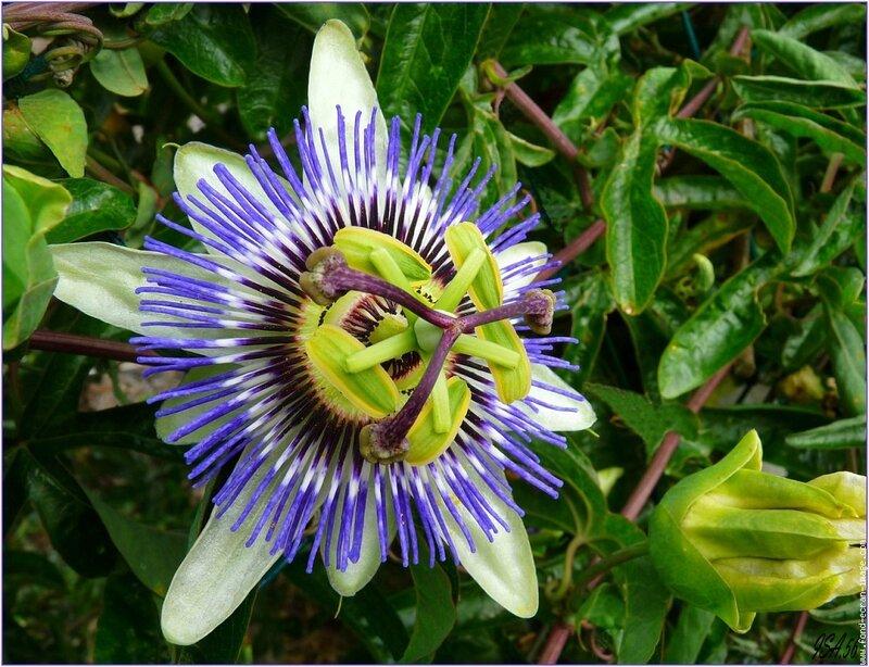 fleur-de-la-passion-20091129