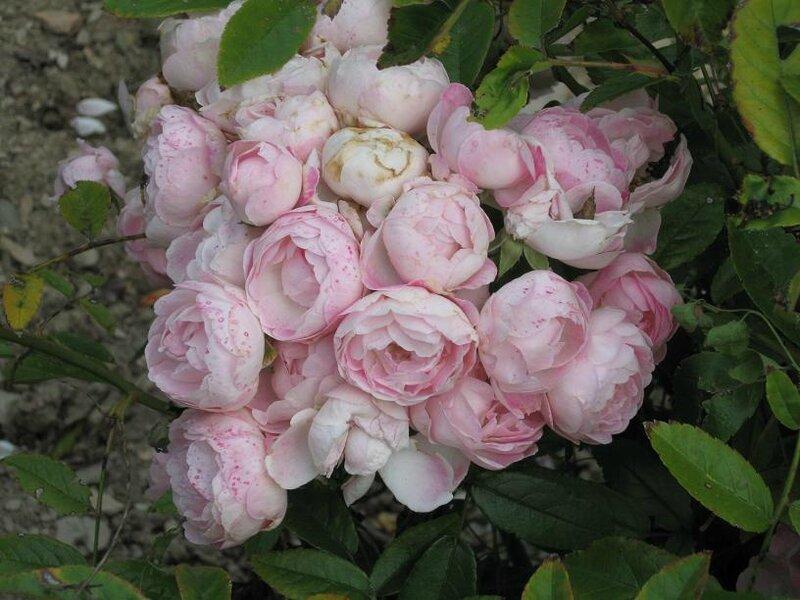 rose rose s à manger 2011 08 08-25%