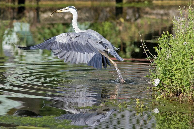 Oiseau héron pêche matin 120819 ym 7 envol