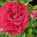 La rose elie semoun