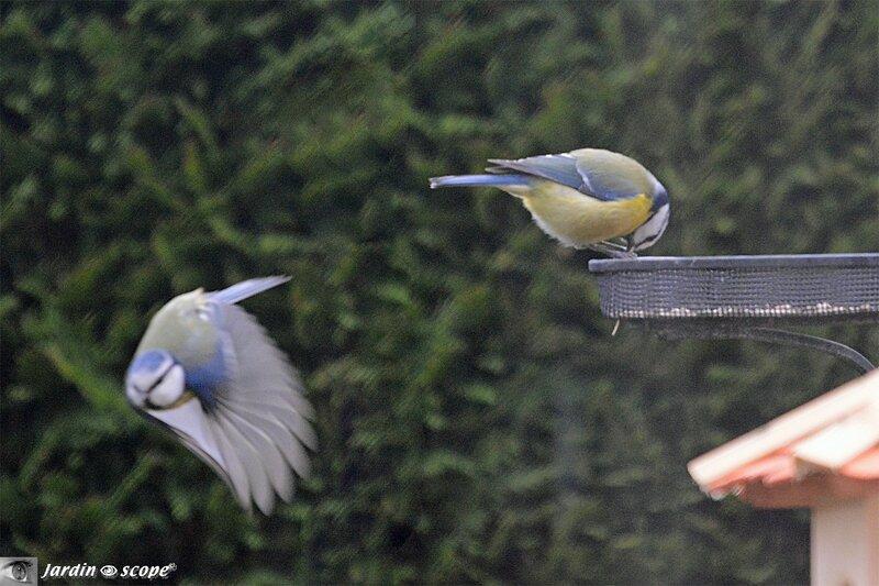 Mésanges-bleues
