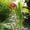 Des asclépias pour mes danaus chrysippus