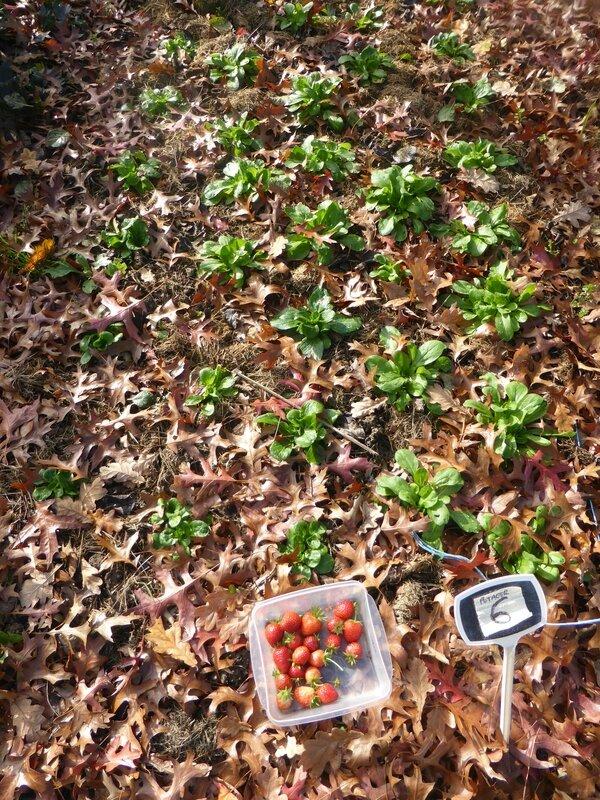 6-fraises (15)