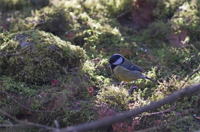 oiseau mésange charb mousse matin 060321 32 ym