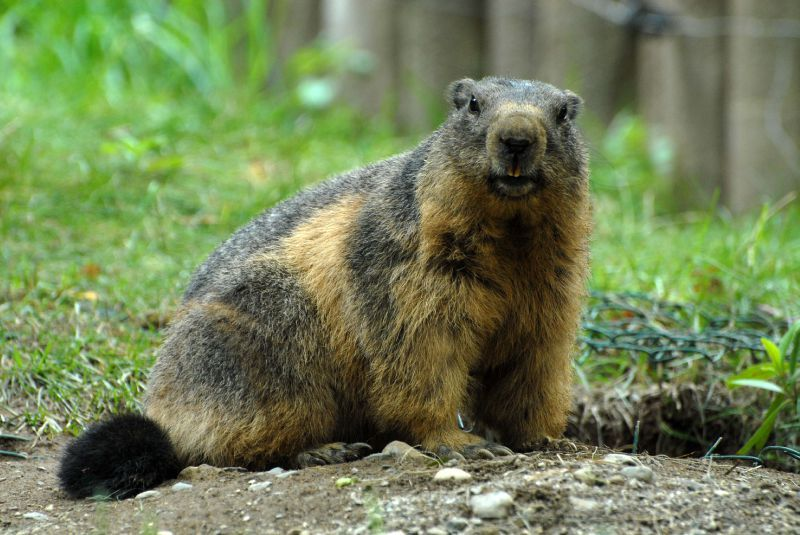 marmottes4