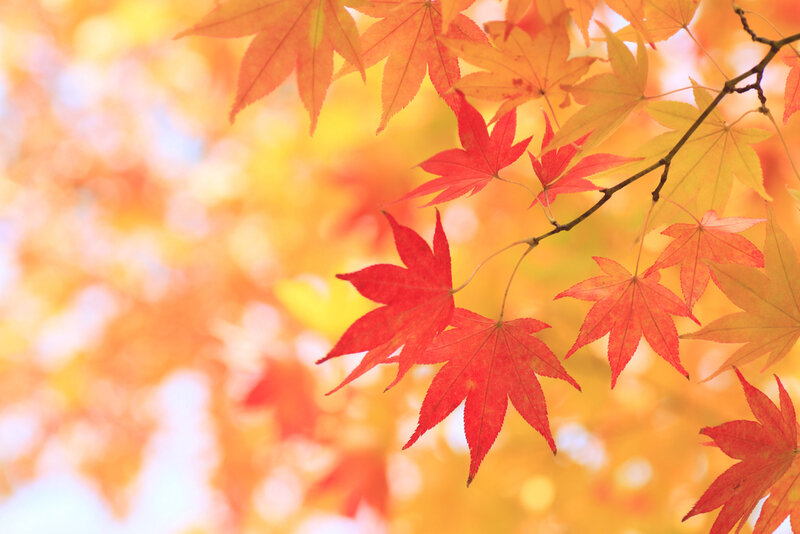 Automne-Maple-Leafs