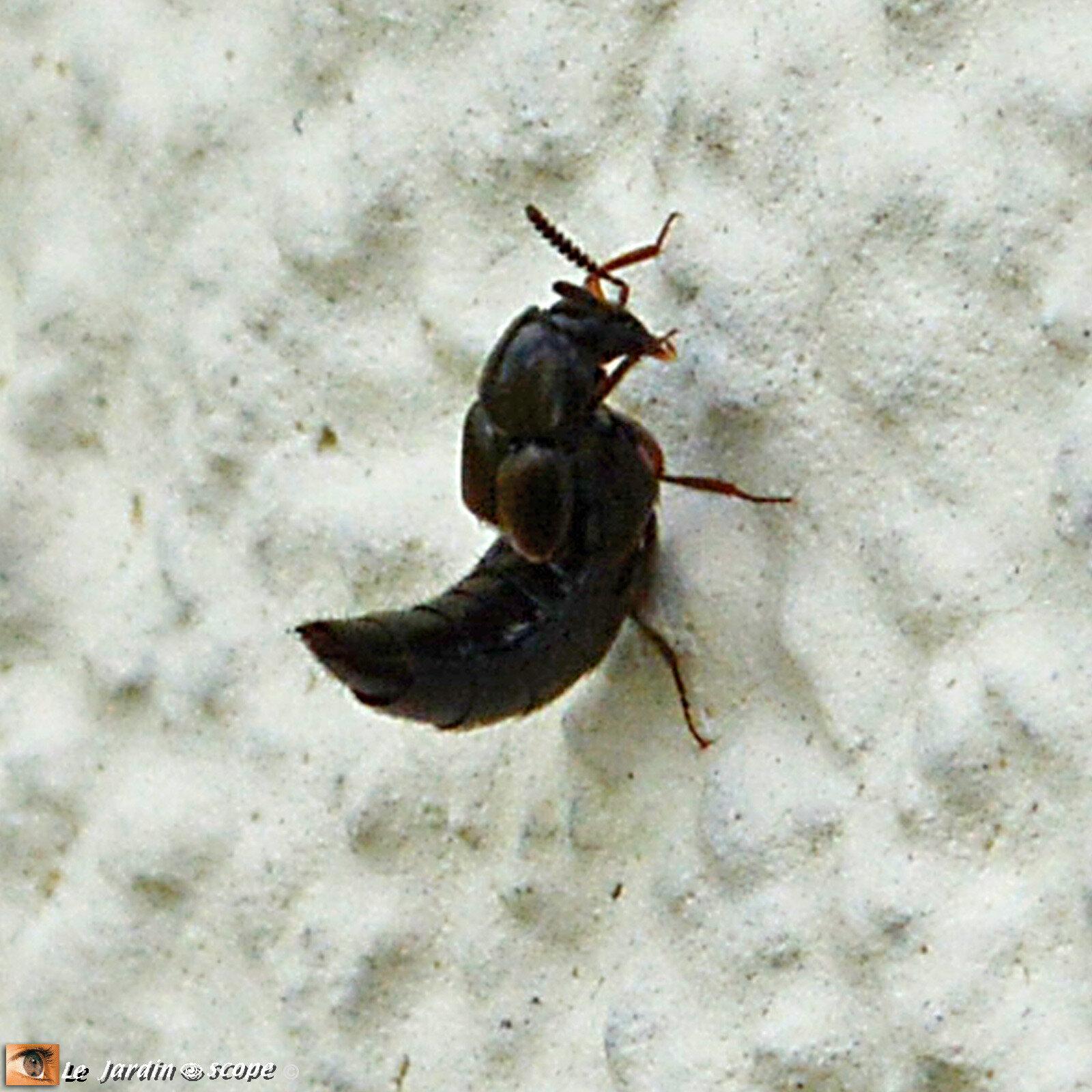 Aléocharine • Aleochara sp. • Famille des Staphylinidae