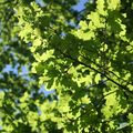 nphv_2may11_feuilles