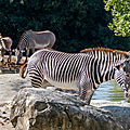 zebre beauval