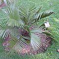 Jubea chilensis (chili) butia capitata