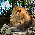 lion beauval7