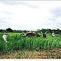 Centrafrique 1990, des Peuls transforment la forêt en savane ...