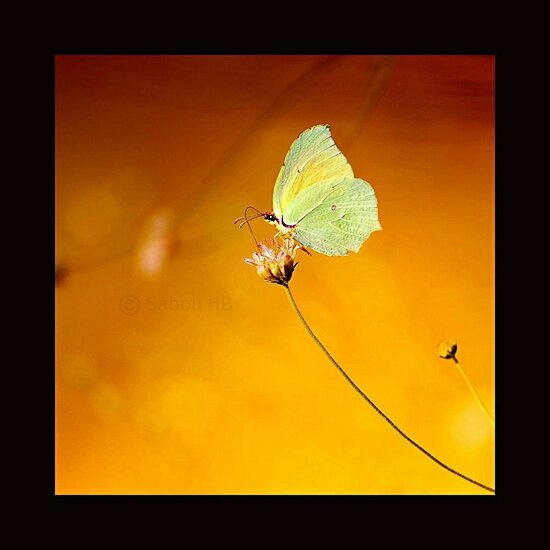 Papillon-550