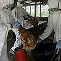 L'arnaque de la grippe aviaire