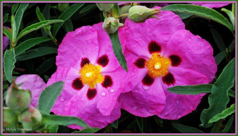 Cistes roses 0405152