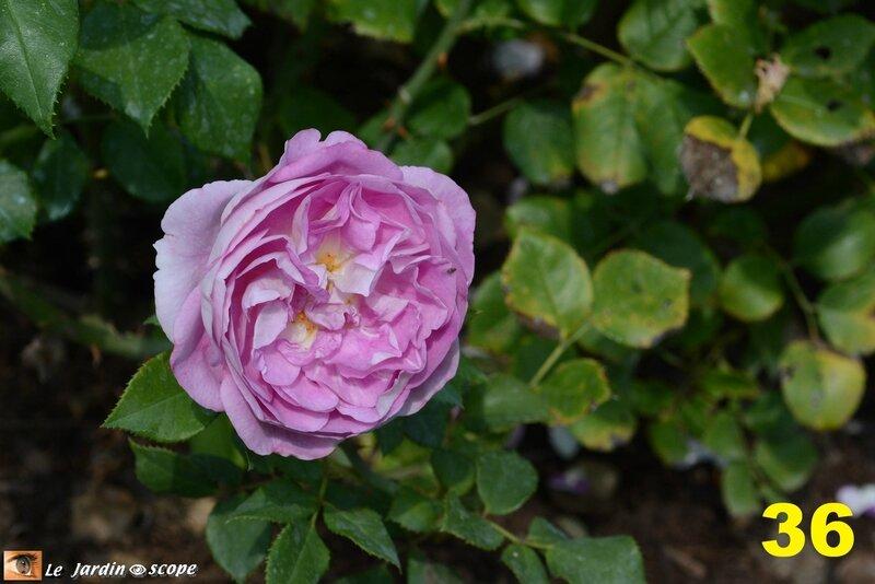 36-Concours international de roses d'Orléans 2016