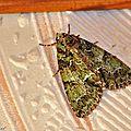 Noctuelle du Camérisier . Polyphaenis sericata • Famille des Noctuidae
