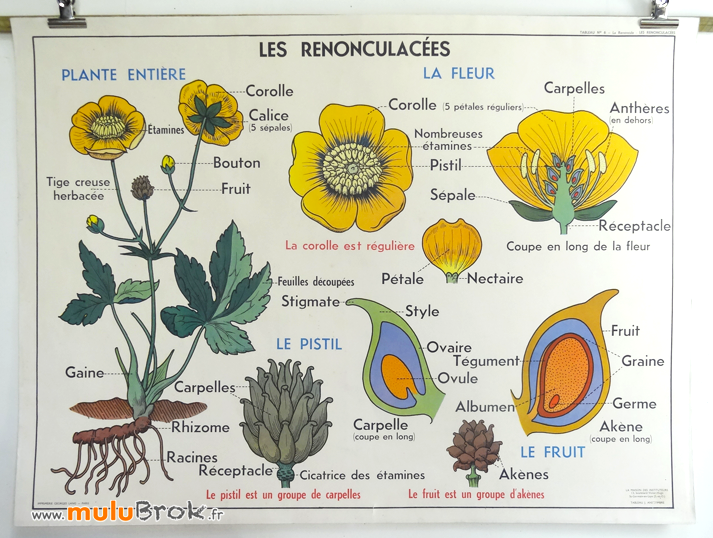 AFFICHE-SCOLAIRE-MDI-6-RENONCULACEES-2-muluBrok-Vintage