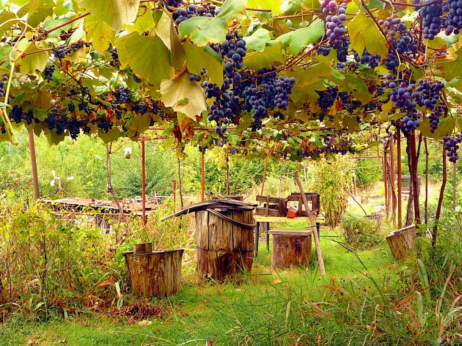 cabane tapie sous les raisins