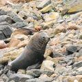 Lions de mer à Taiaroa head (28)