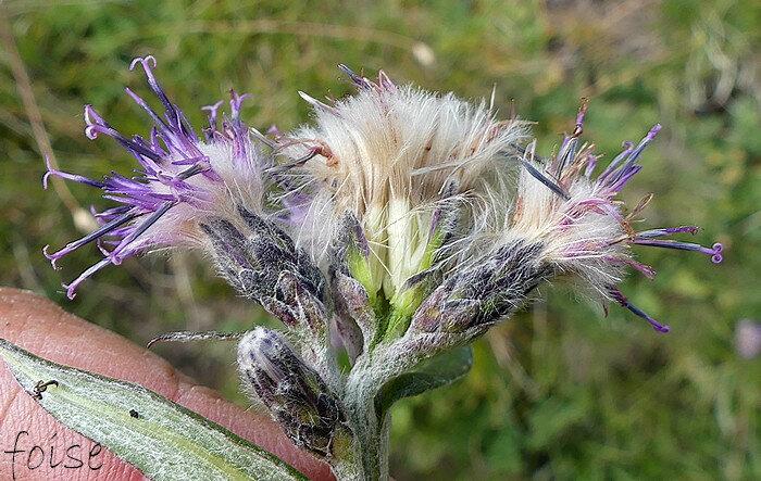 akènes à aigrettes de longues soies les intérieures plumeuses