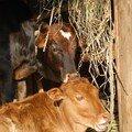 Les vaches de la famille, sacrees ici!