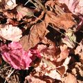 IMG_2914 Feuille rouge