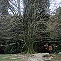 La Rhune, arbre et cheval sauvage (64)