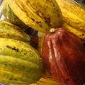 Très belles fèves de cacao