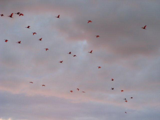 vol d ibis rouges au soleil couchant