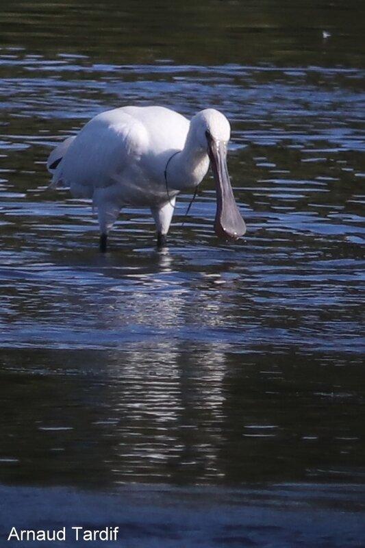 001705 Larmor-Baden - Le Golfe du Morbihan - L'étang de Kercadoret à St Philibert