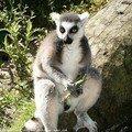 Homme lémurien