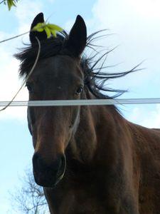 trotteur français - cheval de loisir