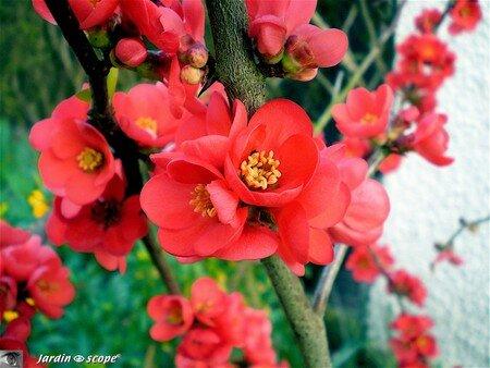 Cognassier_fleurs