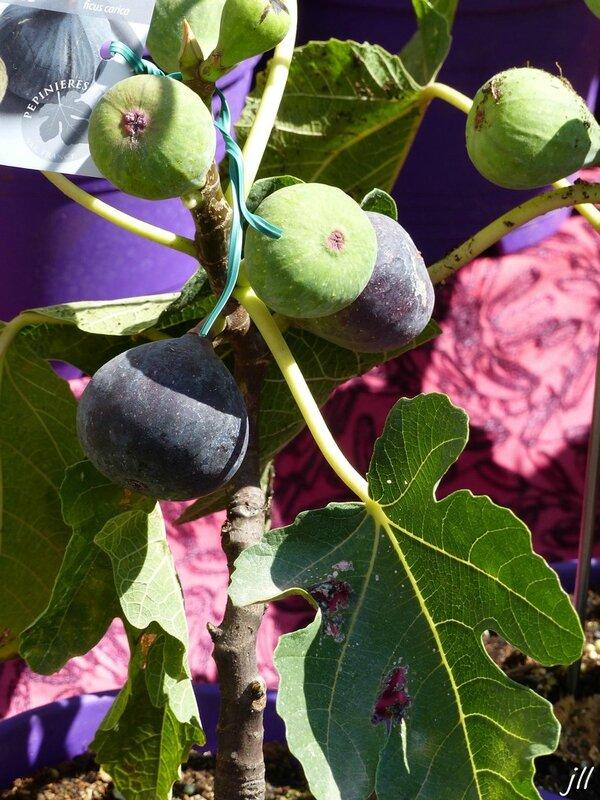 01 violette de Sollies-Pont ou Bourjassotte noire ou Parisienne