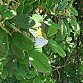 Azuré des Nerpruns (Celestrina argiolus) femelle