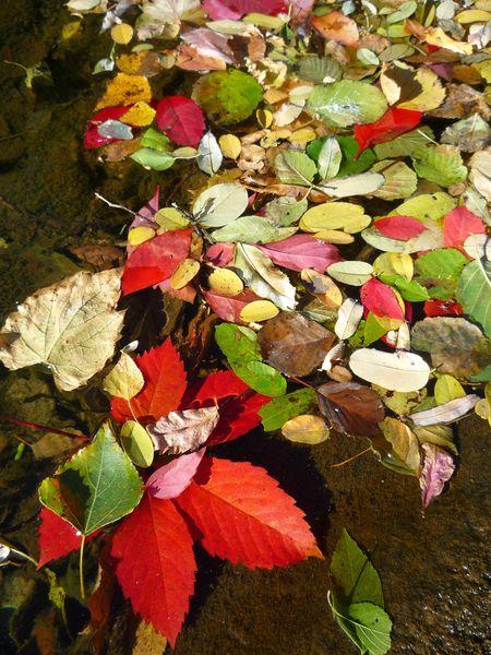 feuilles rouges sur l'eau