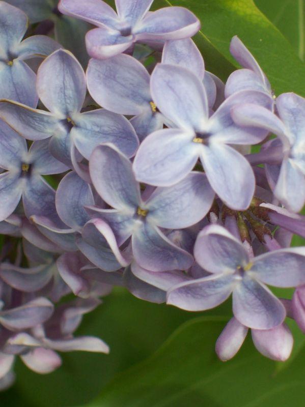 Lilas mauve