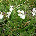 Violettes (Viola sp.)