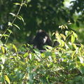 Mono Congo Parc de Tortuguero